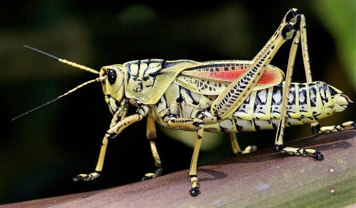 grasshopper1-1